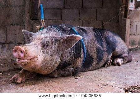 Domestic Big Pig In A Farm