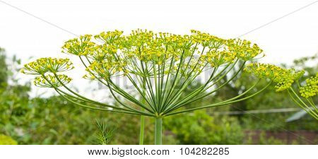 Sprig Of Dill