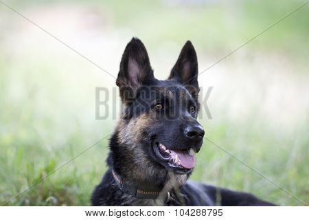 attentive german shepard dog portrait