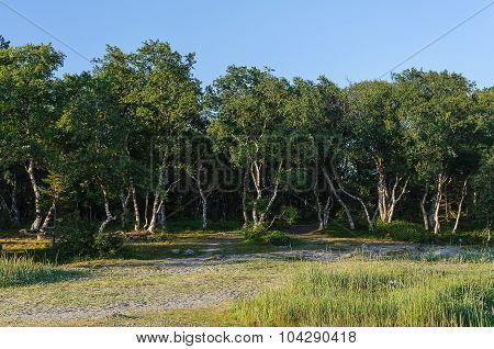 Birch grove with fancifully bent trunks of trees on Solovetsky Islands (Solovki) Russia poster