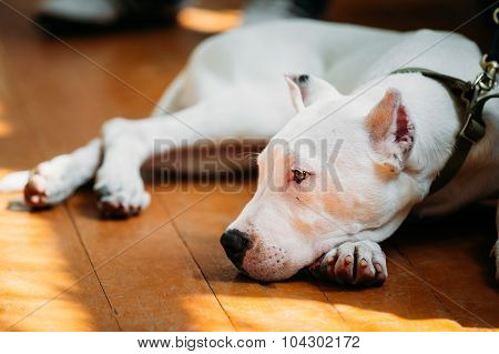 Young White Dogo Argentino Dog laying On Wooden Floor