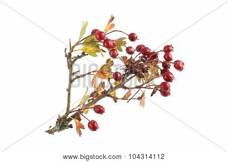 Hawthorn Seeds And Leaves.