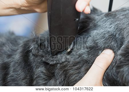 Closeup View Of The Trimming Of The Black Dog