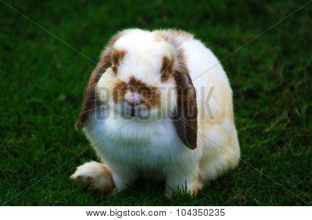 Holland Lop Rabbit on Grass