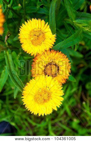 Straw Flower In Outdoor Garden