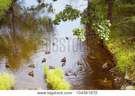 Ducks in the pond of Oranienbaum