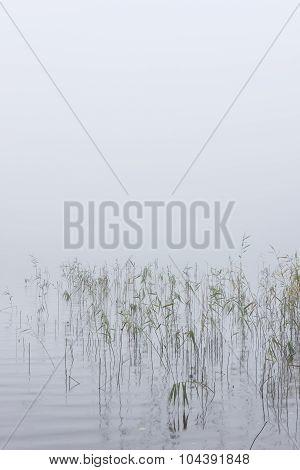 Bulrush In A Mist