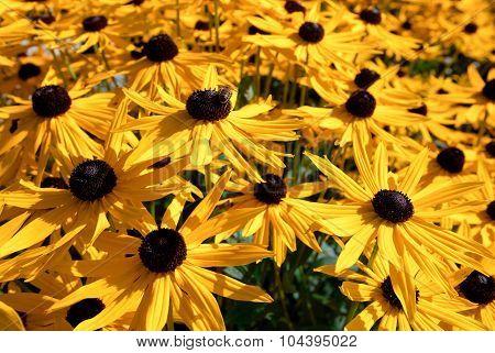 Yellow and chocolate daisies.