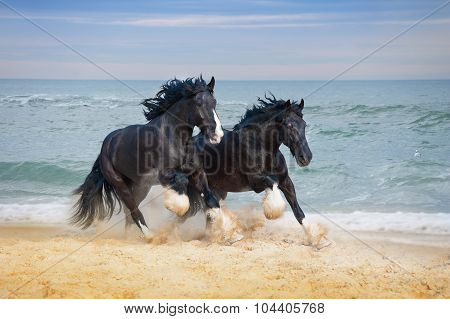 Two beautiful big horses breed Shire gallop along the beach picking up sand against the blue sea.