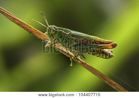 Grasshopper on a blade of dry grass