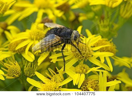 Tachinid fly resting on a dandelion flower