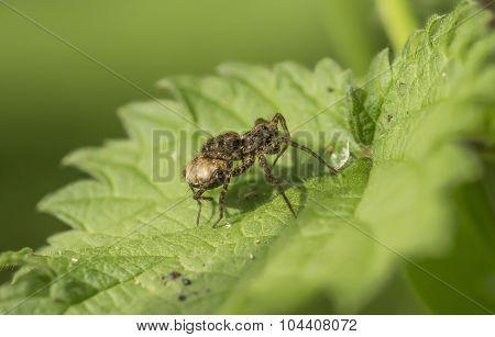 Spider, Araneae, resting on a green leaf