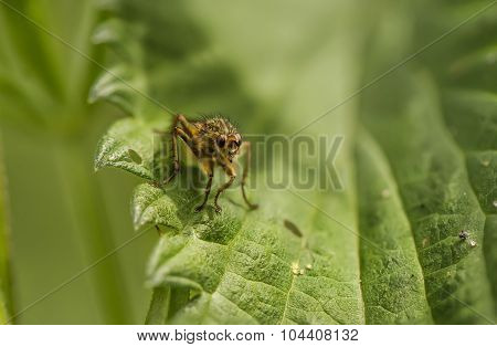 Tacinid fly resting on a green leaf