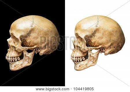 Human Skull Isolated