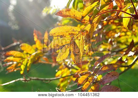 Autumn Landscape - Colorific Mountain Ash Tree Branches In Bright Rays Of Sunlight
