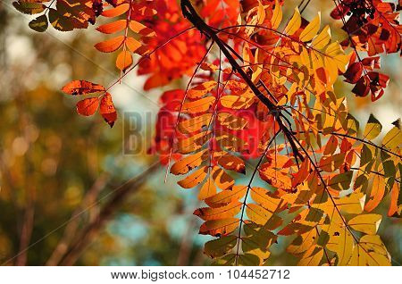 Colorful Mountain Ash Tree Branches In Sunlight - Autumn Background