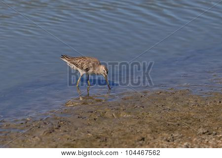 Lesser yellow legs, Tringa flavipes