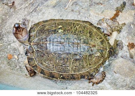 Giant Tortoise (geochelone Gigantea) In Their Natural Habitat.