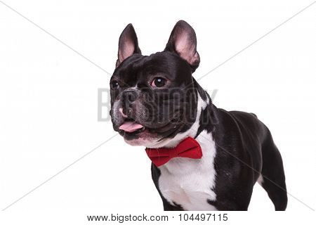 side of a panting french bulldog puppy wearing bow tie , isolated on white background