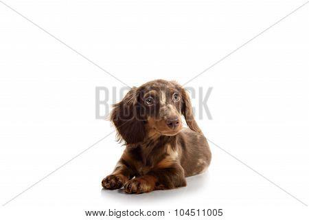 Puppy Dachshund On A White Background