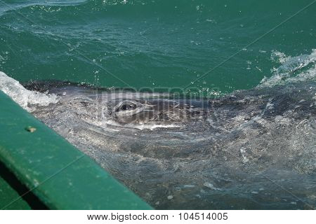 Gray whale calf investigating a small boat