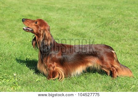 Typical Red Dachshund  Long-haired In The Garden