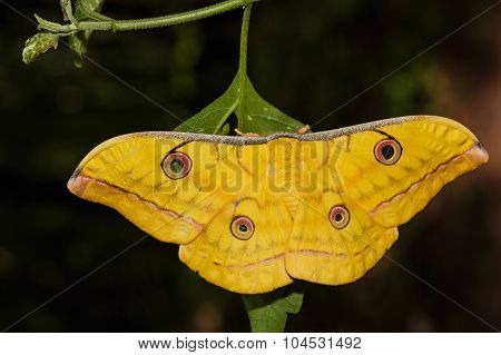 Tassah Silk Moth Hanging On Leaf