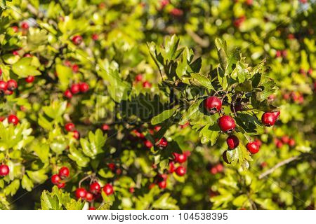 Twig Of Ripe Fruits Of Hawthorn