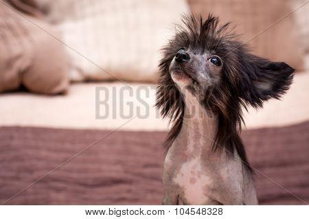 Chinese shaggy dog
