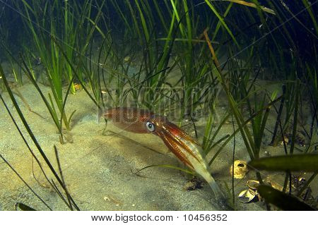 Squid With Prey