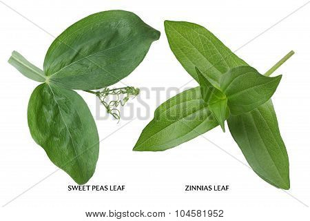 Sweet Peas and Zinnias Leaf isolated on white background poster