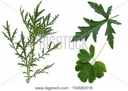 Set of Musk Mallow Malva moschata wild leaves isolated on white background poster