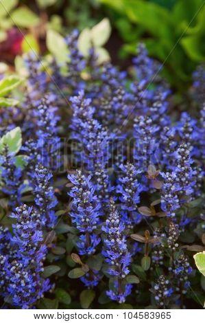 beautiful spring blue flower. closeup