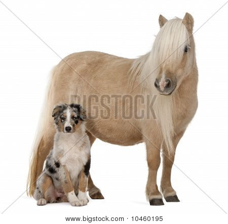 Palomino Shetland Pony, Equus Caballus, 3 Years Old, And Australian Shepherd Puppy, 4 Months Old, In