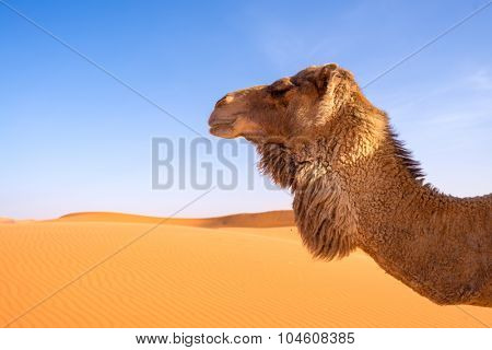 Africa,morocco - An isolated camel in sahara desert late afternoon