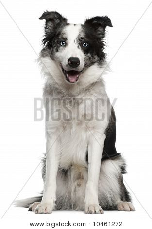 Border Collie, 10 Months Old, Sitting In Front Of White Background