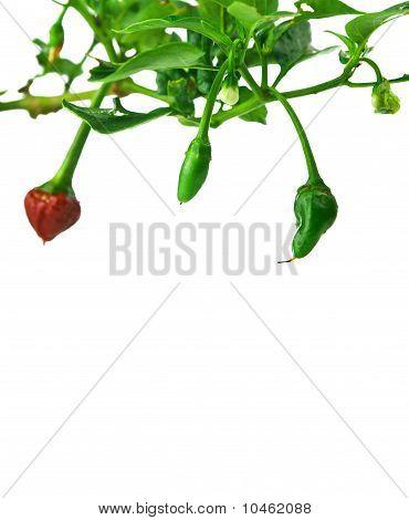 Chili Plant Framed Background