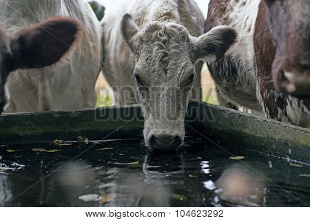 Cows Close To Drinking Trough