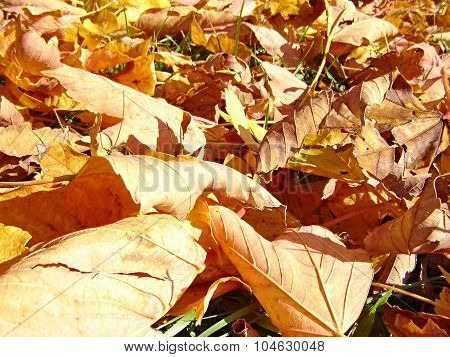 Dry Maple Leaves