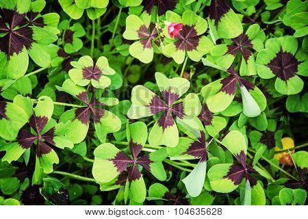 Oxalis Tetraphylla Plant
