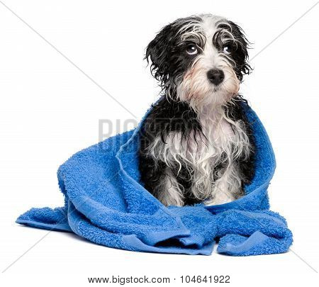 Cute Smart Havanese Puppy After Bath Is Sitting On A Blue Towel