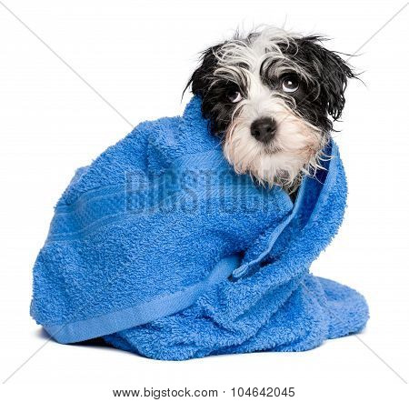 Funny Havanese Puppy After Bath Is Covered With A Blue Towel