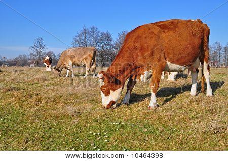 Cow on an autumn pasture.