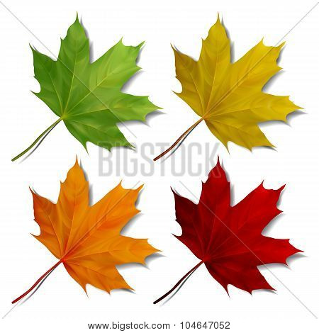 Set of Realistic maple leaves