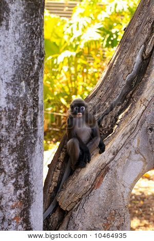 Dusky-leaf Monkey In Tree - Trachypithecus Obscurus