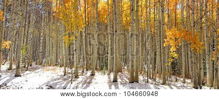 Colorful Aspen trees in snow at Kebler pass Colorado
