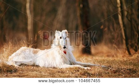 Dog Russian Borzoi Wolfhound Head, Outdoors in Autumn Season