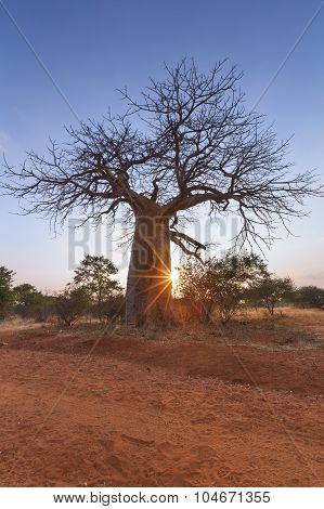 Large Baobab Tree Without Leaves Sunrise With Clear Sky