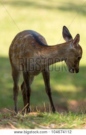 Young Fallow Deer (lat. Dama Dama)
