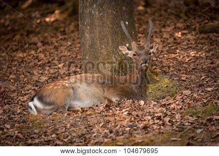 Lying Fallow Deer at autumn time, Germany